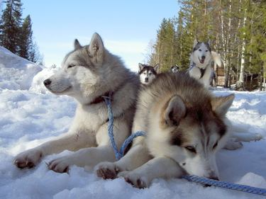 Huskyabenteuer in Finnland
