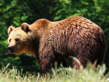 Bären Beobachtungsreise Erlebnisreise