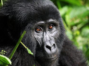 Gorilla Beobachtung