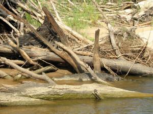 Suchbild Krokodil
