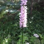 Knabenkraut Orchidee
