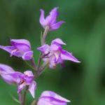 Waldvögelchen Orchidee